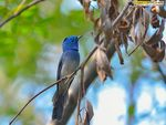 Title: Black-naped monarch