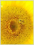 Title: Bee on Sunflower