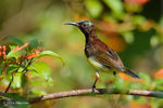 Title: Purple Rumped Sunbird