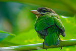 Title: White Cheeked Barbet - Megalaima viridis
