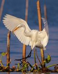 Title: Great Egret in Chilika Lake