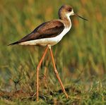 Title: Black-winged Stilt,