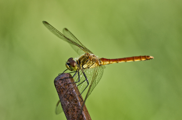 The Dragonfly From Taebaek