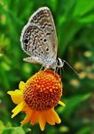 Title: Leptotes cassiusSony Ericsson K790a