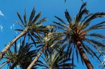 Title: Date palms