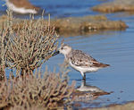 Title: Calidris alba ( Sanderling )
