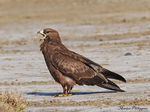 Title: European honey buzzard