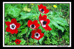 Title: Red Anemones