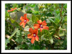 Title: Orange Pimpernel