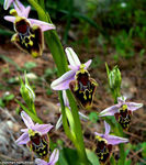Title: Ophrys Phrygia