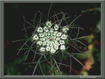 Title: Wild Carrot