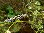 Title: caterpillar of Papilio machaon