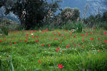 Title: Red anemones field