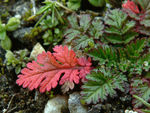 Title: Red and little leaf