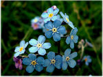 Title: Forget Me Not