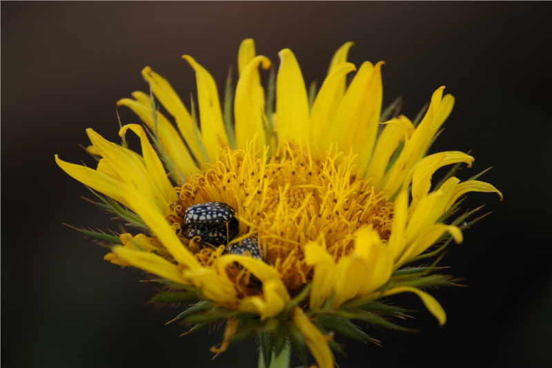 Beetles making their home in flower