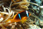 Title: Red sea anemonefish
