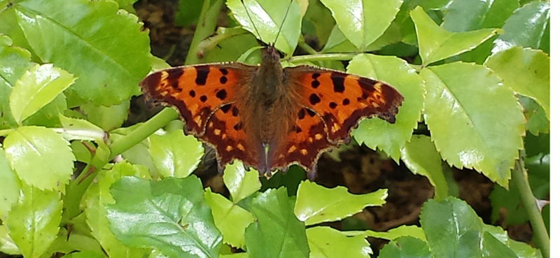 polygonia c-album butterfly
