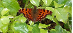Title: polygonia c-album butterfly