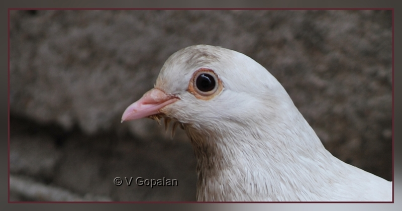 White colored Pigeon