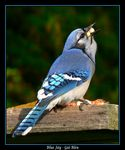 Title: A Hungry Blue Jay