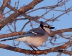 Title: Blue Jay on Blue Sky...