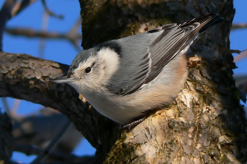 My first White-breasted Nuthatch...