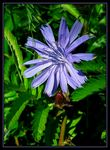 Title: Common Chicory