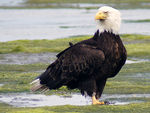 Title: Bald eagle Resting