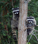 Title: Young Racoons