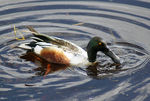 Title: Shoveler Duck  in Pond