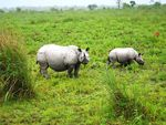 Title: Indian one horn rhino