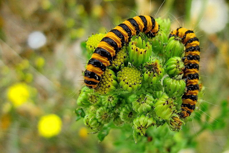 caterpillar of the cinnabar moth