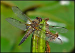 Title: Scarce Chaser