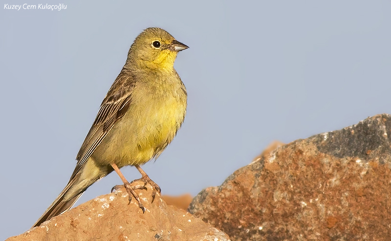 1st for TN - Cinereous Bunting
