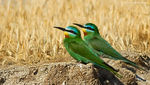 Title: Blue-cheeked Bee-eater