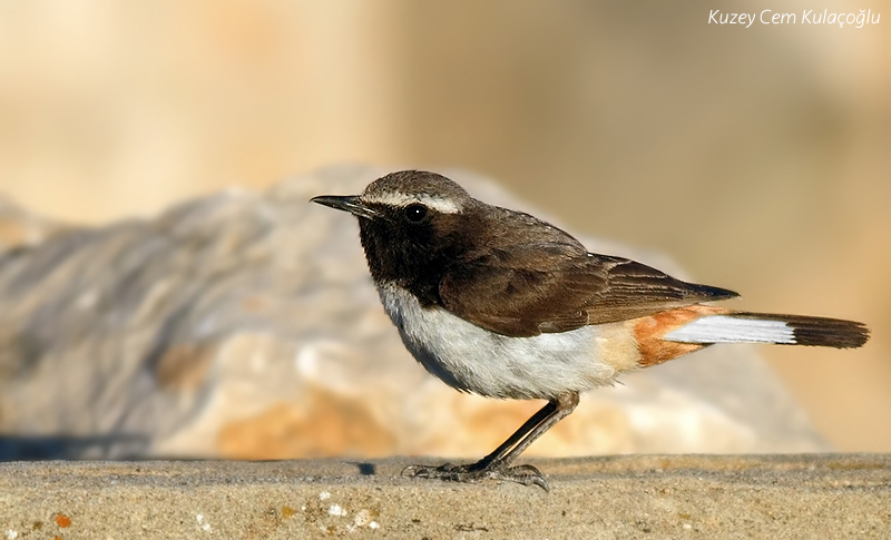 1st for TN - Kurdish Wheatear