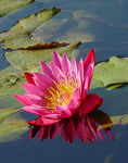 Title: Waterlily