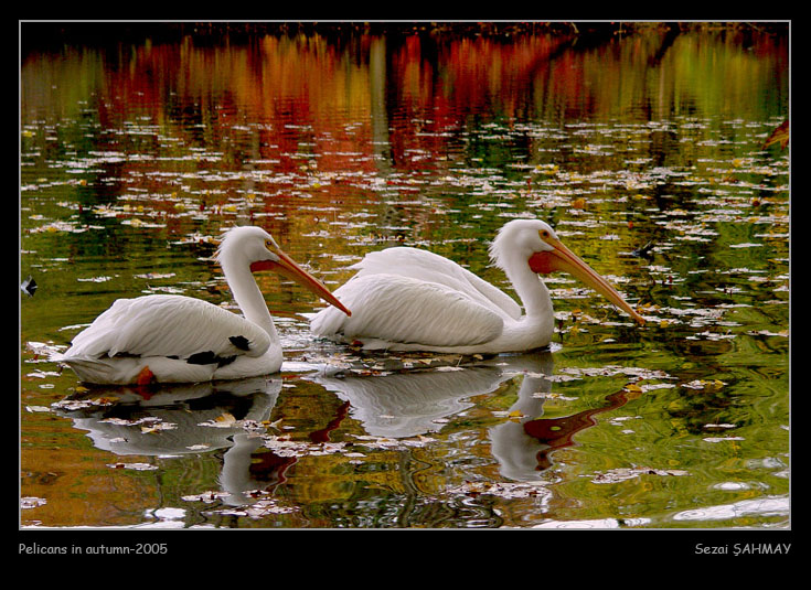 Pelicans in autumn