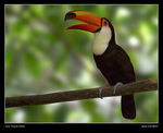 Title: Toco Toucan