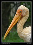 Title: Portrait of Milky Stork