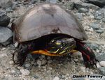 Title: Painted Turtle