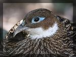 Title: Himalayan Monal Pheasant (Female)Canon 20D