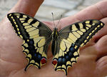 Title: Papilio machaon (Linnaeus 1758)