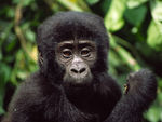 Title: Young Gorilla