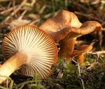 Title: Clitocybe sinopica