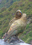 Title: Kea Couple
