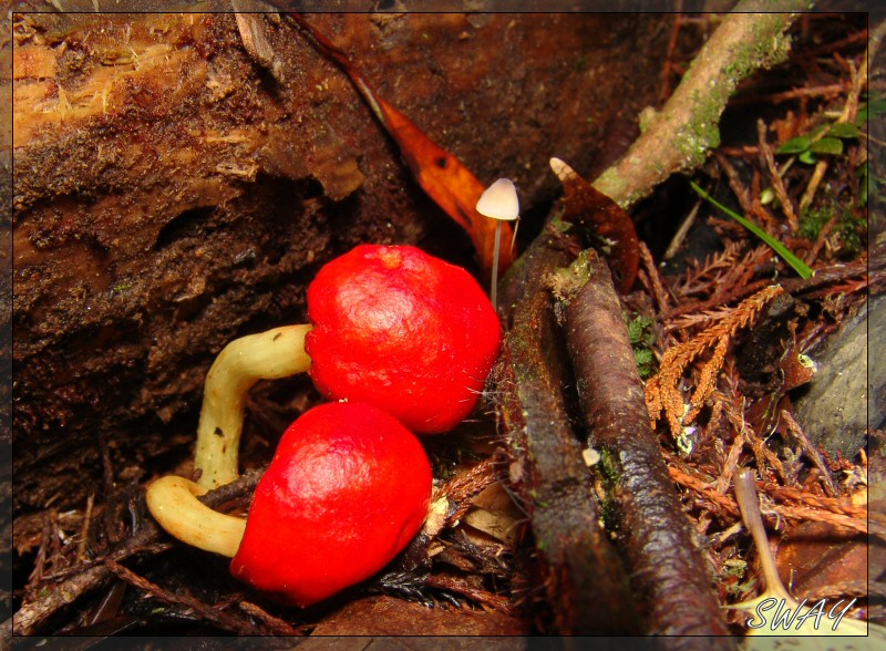 Red Pouch Fungi