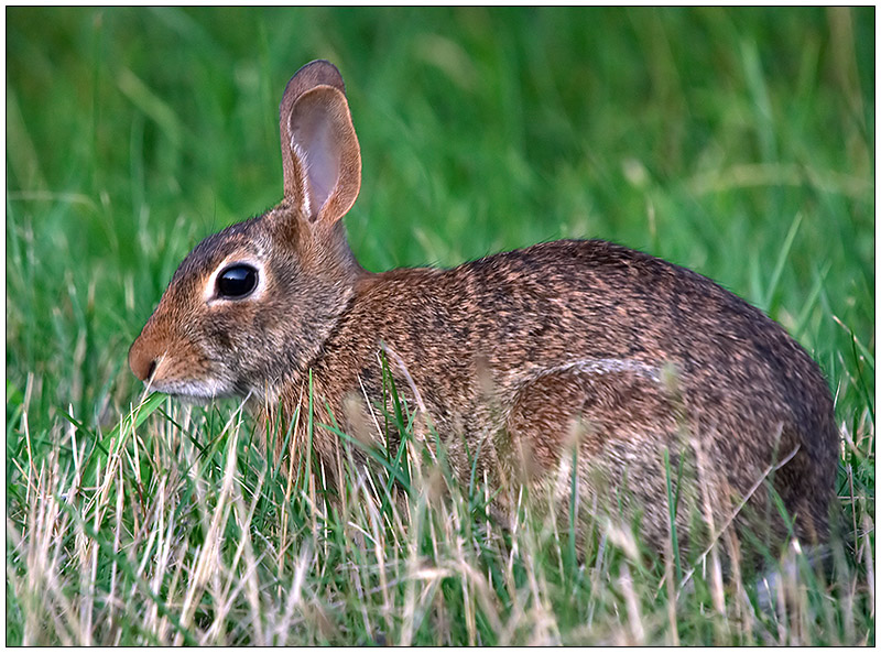 Eastern Cottontail - 1