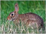 Title: Eastern Cottontail - 1